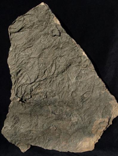03 - Fossil des Monats März 2011