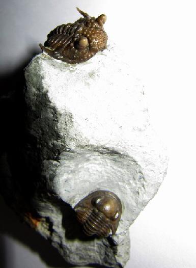 07 - Fossil des Monats Juli 2011 - FOSSIL DES JAHRES 2011