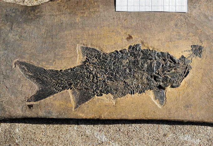 08 - Fossil des Monats August 2012