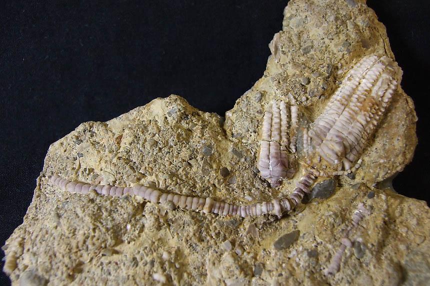 12 - Fossil des Monats Dezember 2012
