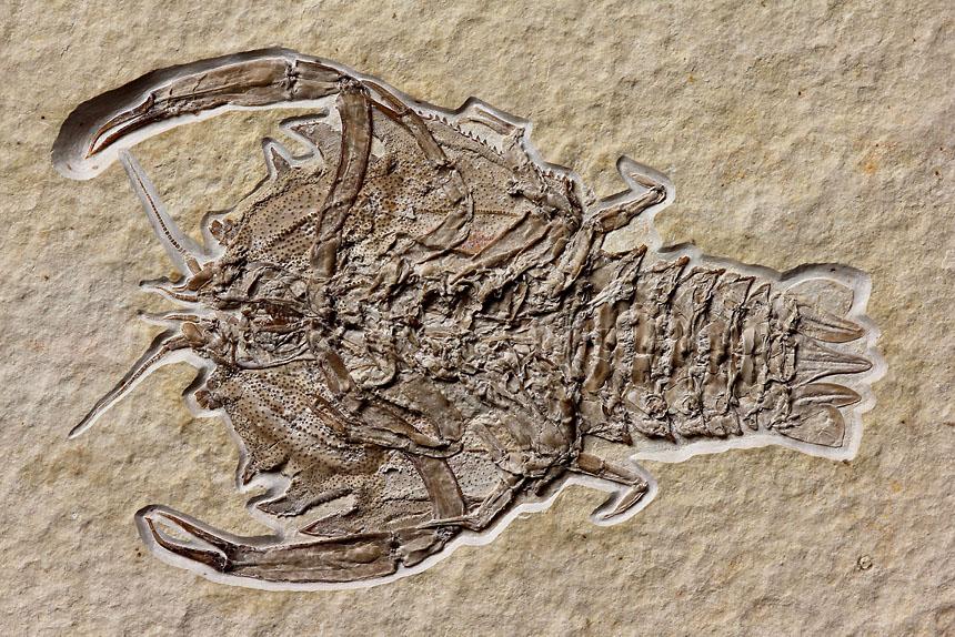 12 - Fossil des Monats Dezember 2017  - Steinkern.de FOSSIL DES JAHRES 2017