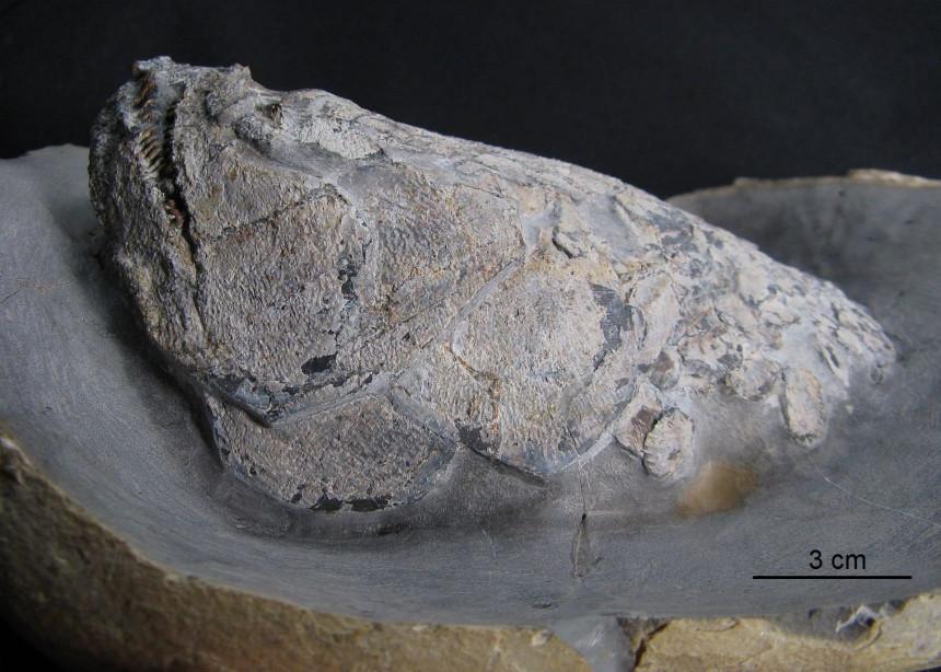 08 - Fossil des Monats August 2018