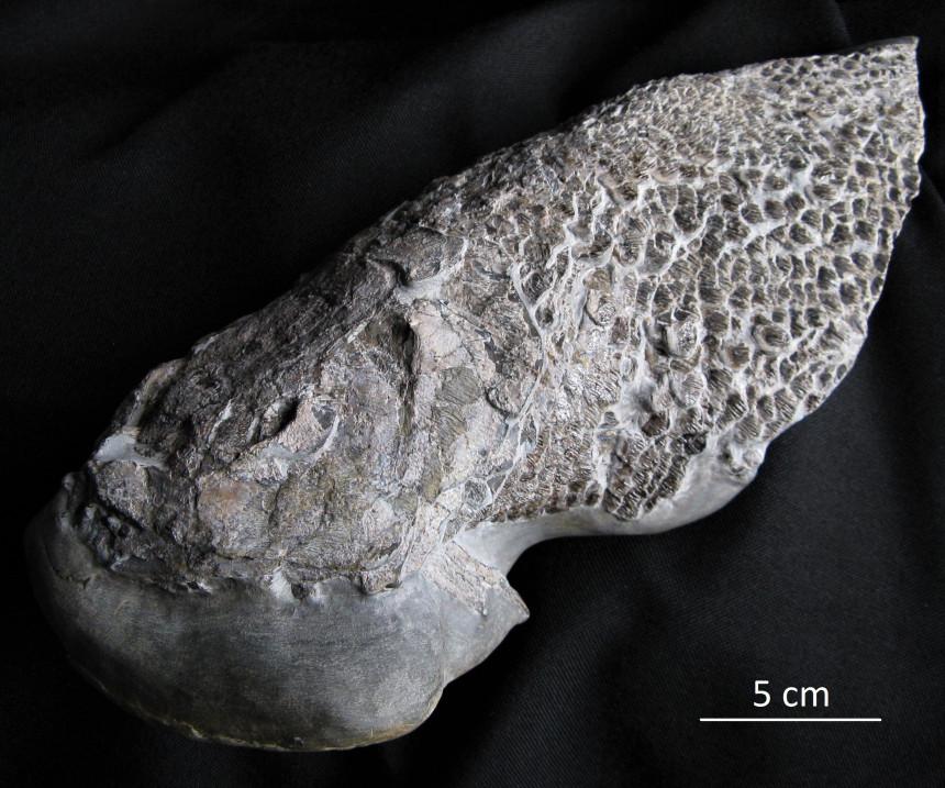 01 - Fossil des Monats Januar 2020