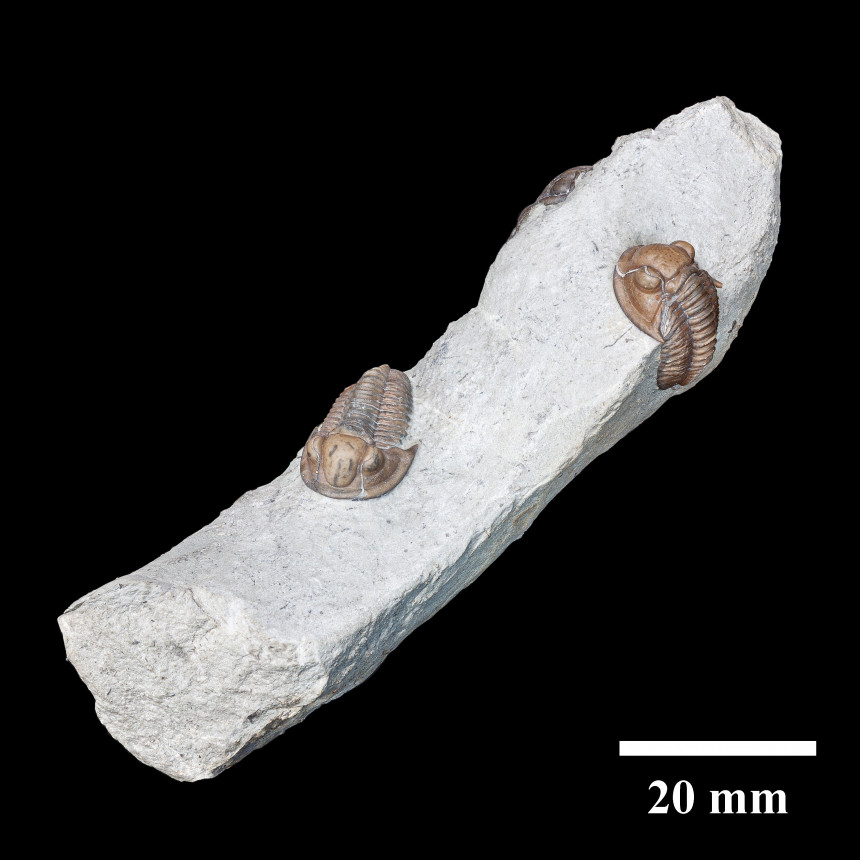 08 - Fossil des Monats August 2020
