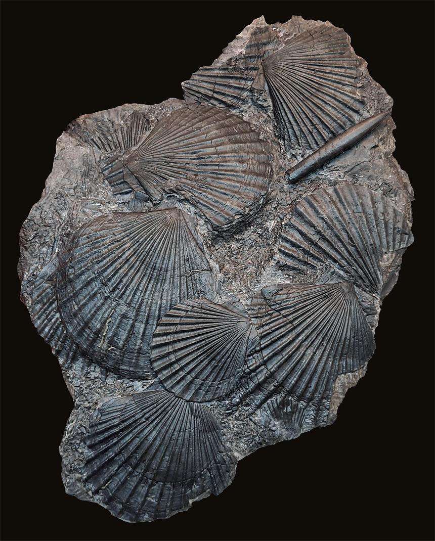 10 - Fossil des Monats Oktober 2020