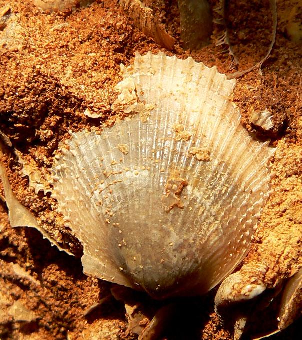 Meleagrinella sp.