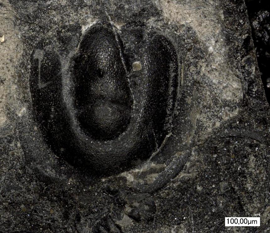 Axagnostus ferox