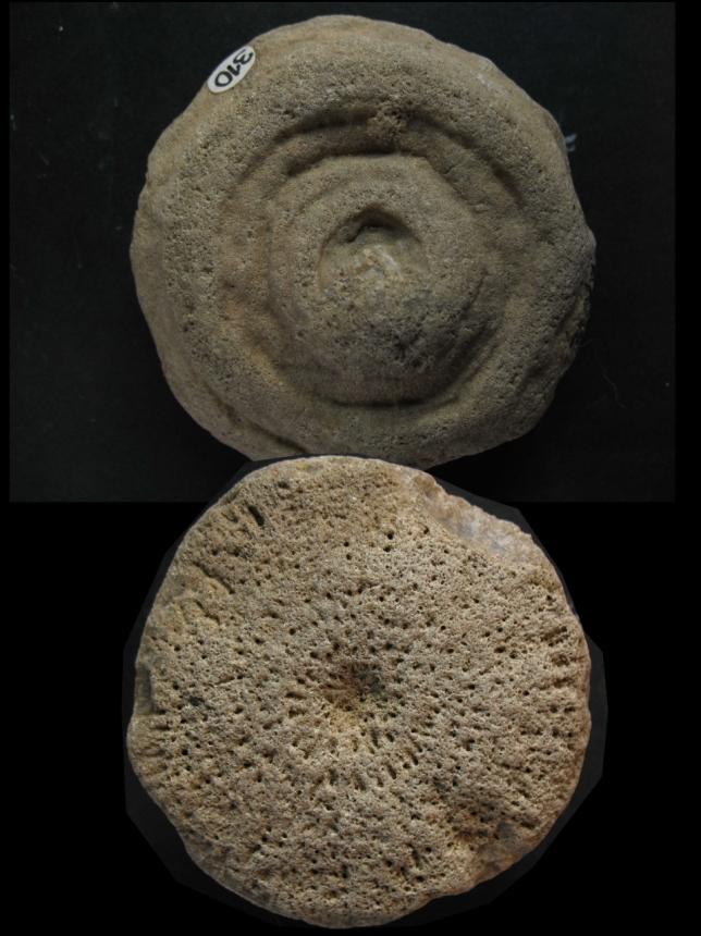 Aulocopium aurantium (OSWALD 1846)