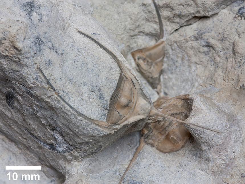 Trilobita - Lonchodomas sp. nov.