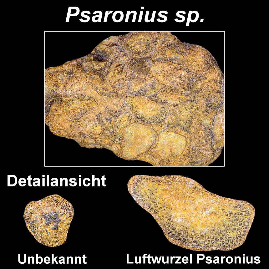 Psaronius sp.