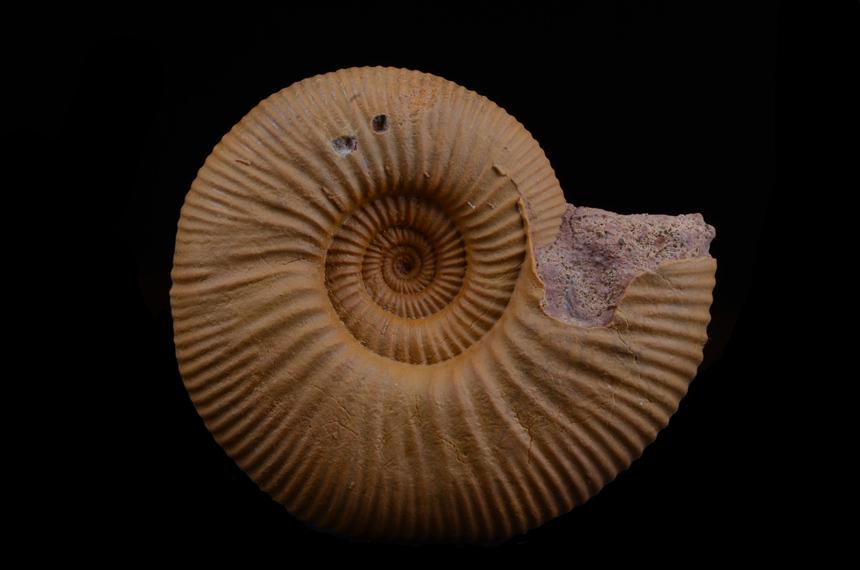 Choffatia sp.