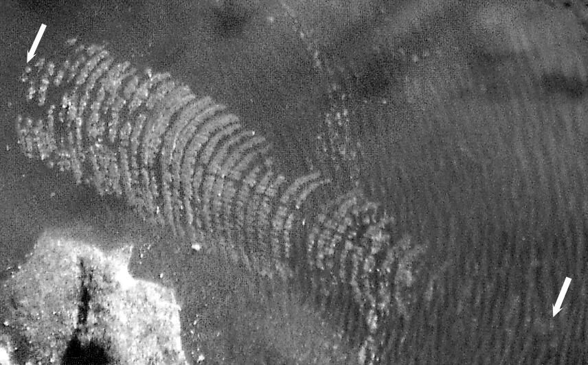 Centrichnus eccentricus BROMLEY & MARTINELL, 1991