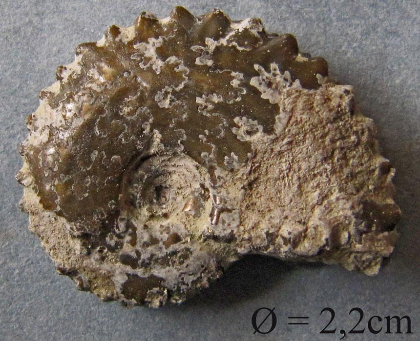Distichoceras bipartium