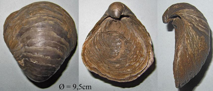 Gryphaea lituola