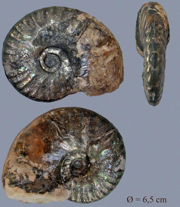 Hecticoceras sp.