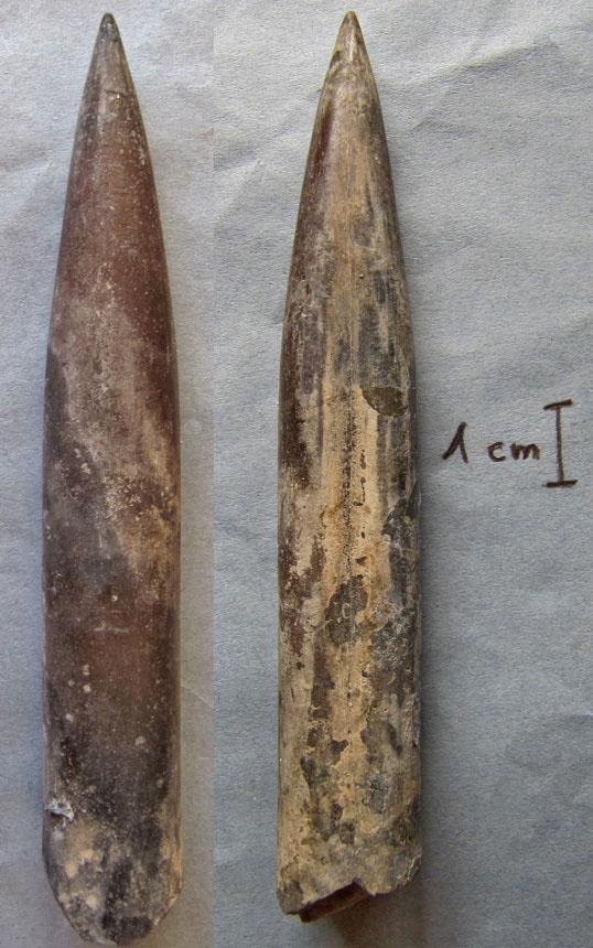 Lagonibellus beaumontiana