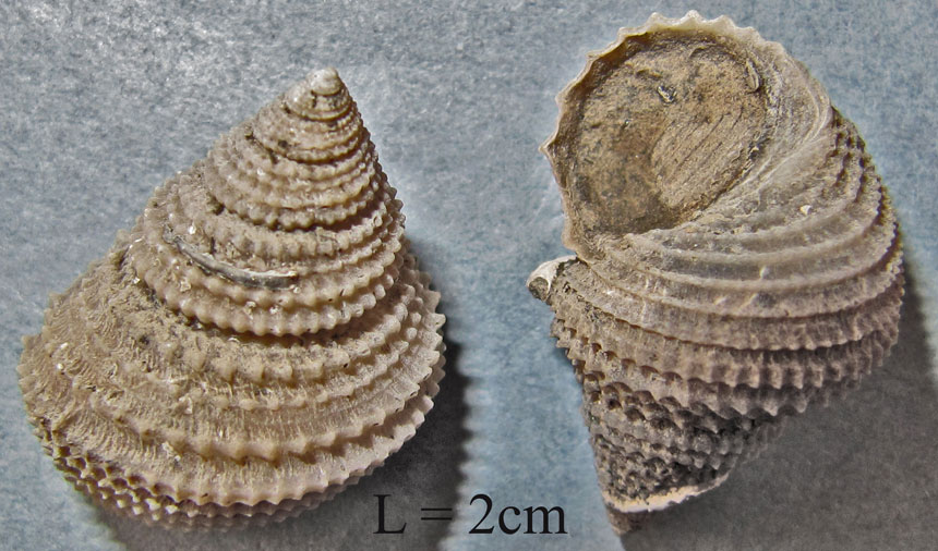Ooliticia meriani (MÜNSTER in GOLDFUSS, 1844)