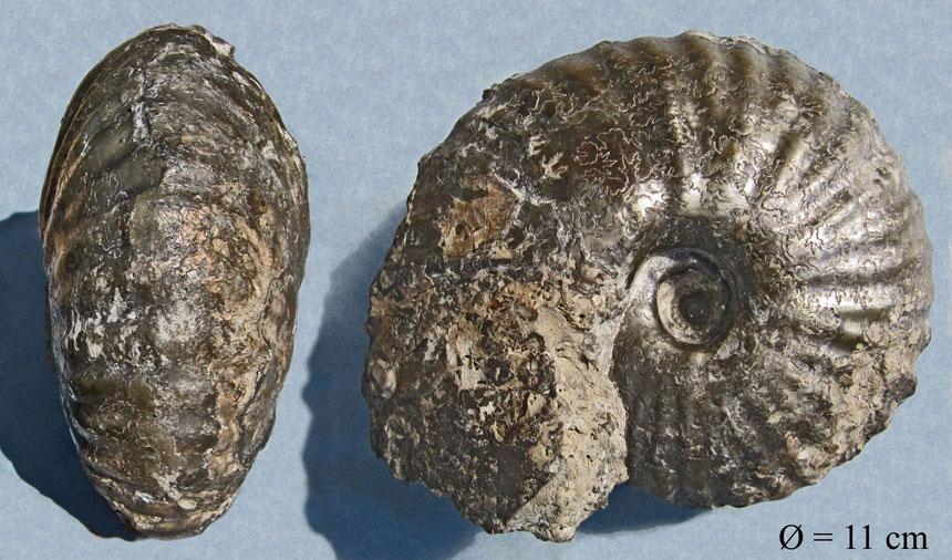 Pachyceras sp. (lalandeanum?)