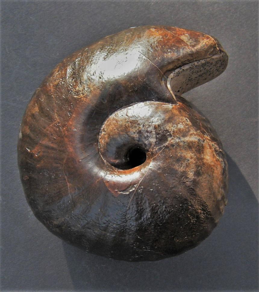 Bullatimorphites hannoveranus (J.Roemer)