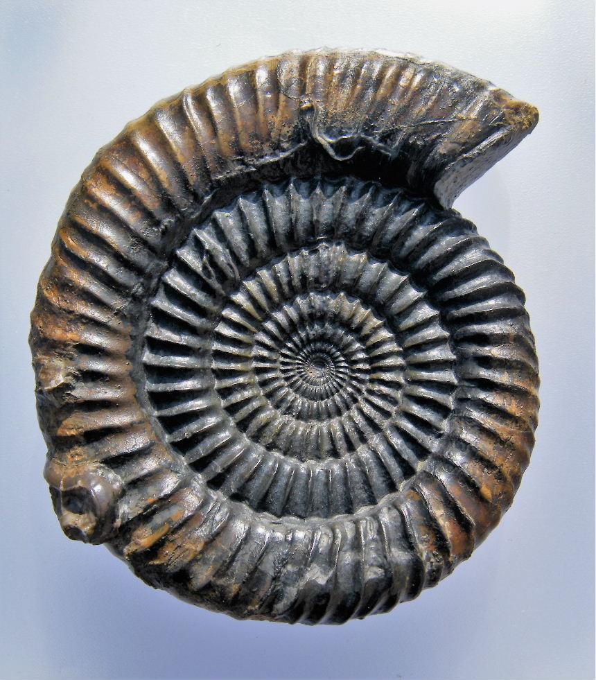 Caumontisphinctes hennigi (Bentz)