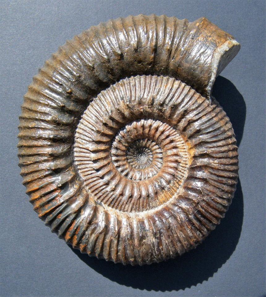 Stephanoceras aff. subzieteni