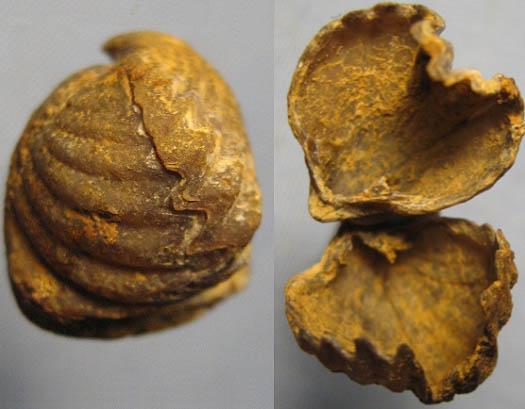 cf. Cymatorhynchia bruta