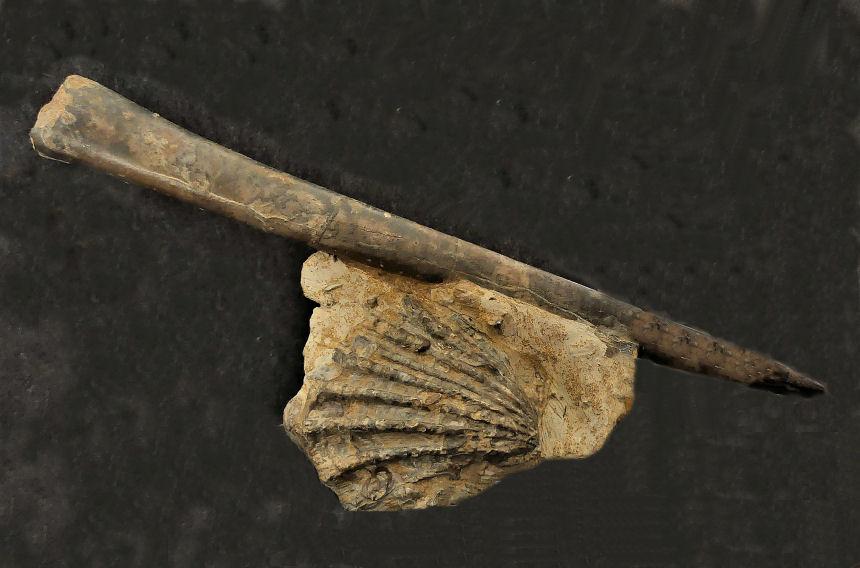 Megateuthis gigantea, SCHLOTHEIM 1820