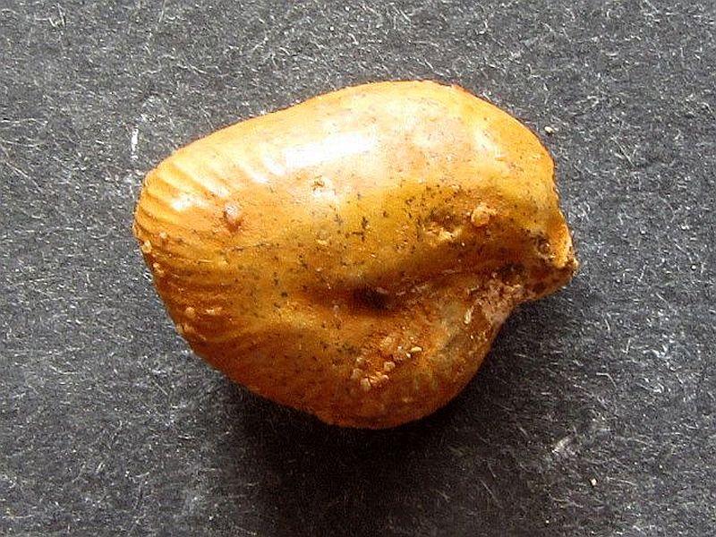Oecoptychius refractus