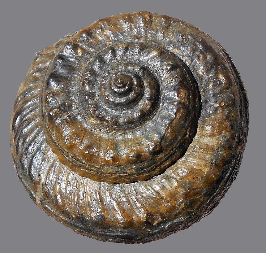 Pleurotomaria actinomphala