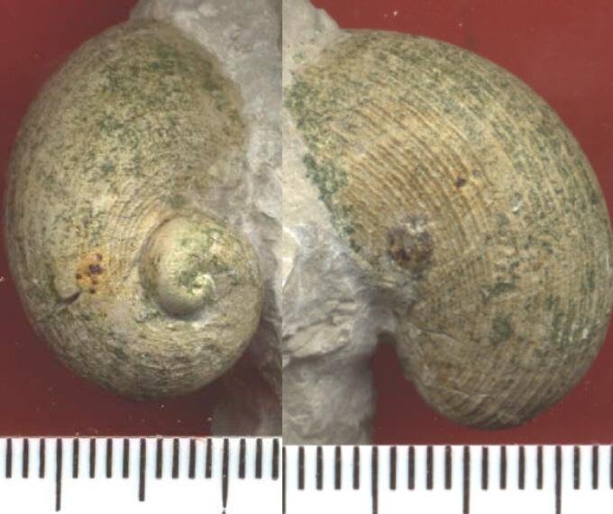 Neritopsis  sp.