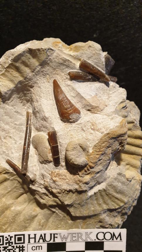 Pliosaurier-Zahn