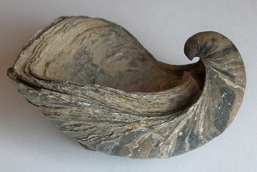 Gryphaea dilatata