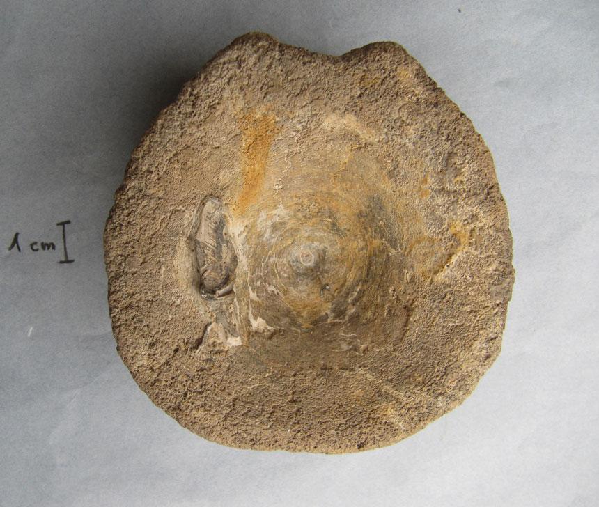 Ichthyosaurierwirbel