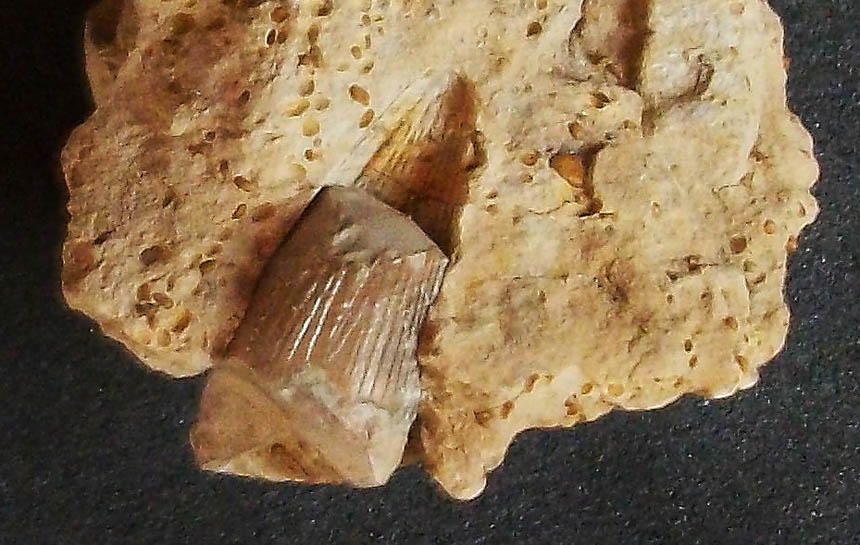 Metriorhynchus sp.