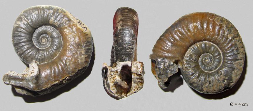 Mirosphinctes sp.