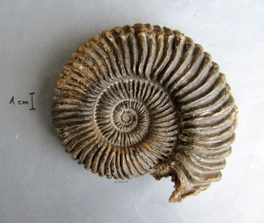 Parawedekindia cf. arduennensis (ORBIGNY)