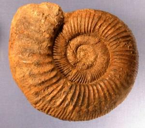 Kranaosphinctes sp.