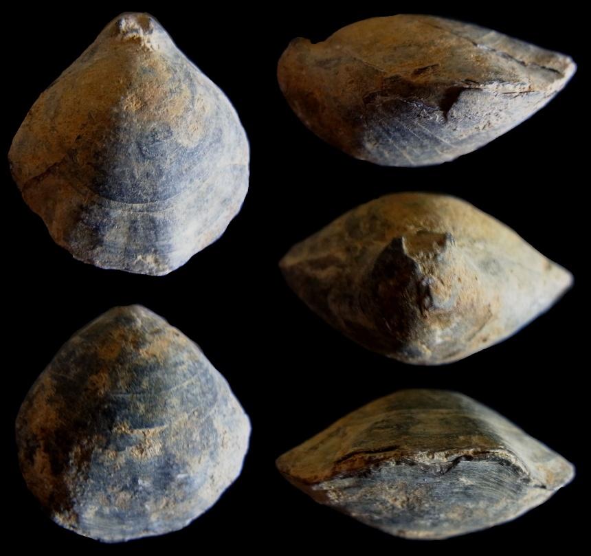 Brachiopode Habrobrochus subsella (LEYMERIE 1846)
