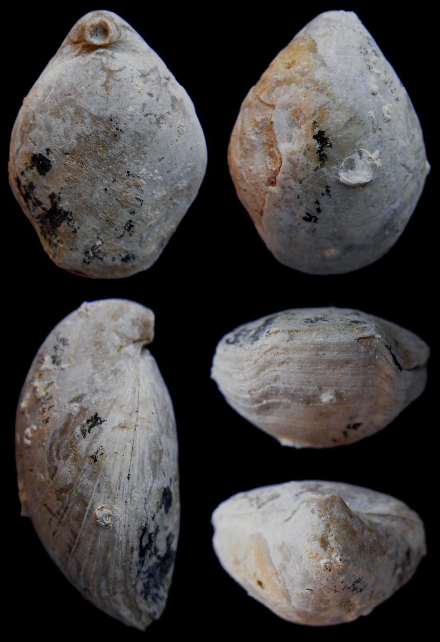 Colosia zieteni (LORIOL 1876-1878)