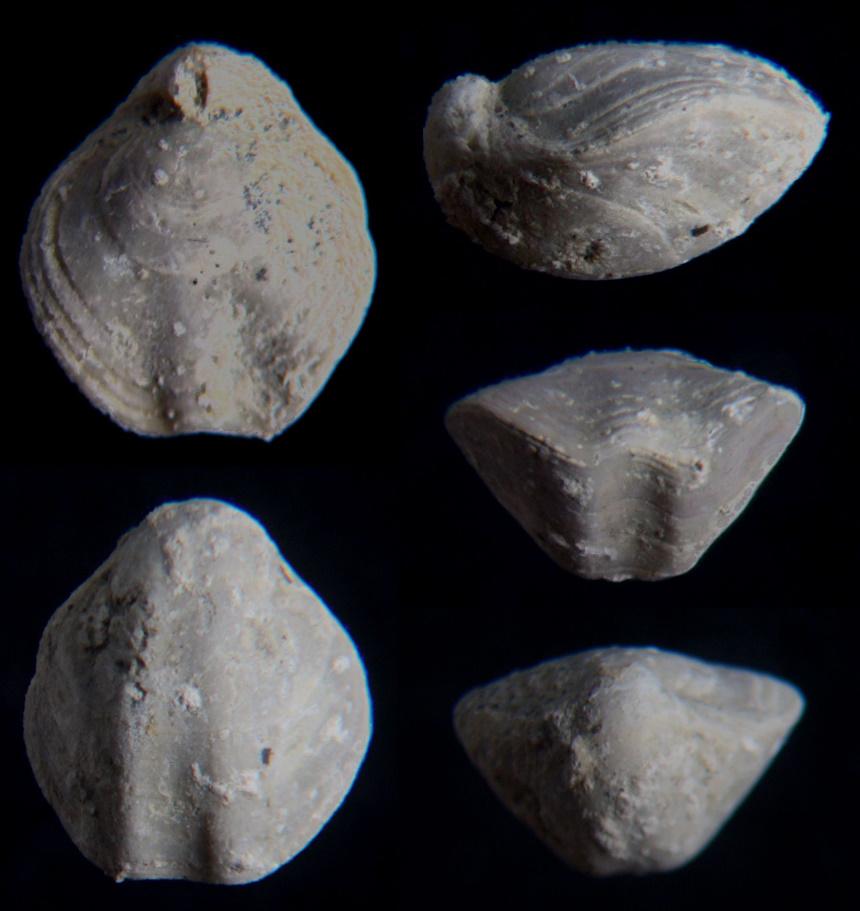 Dictyiothyris alba (QUENSTEDT)