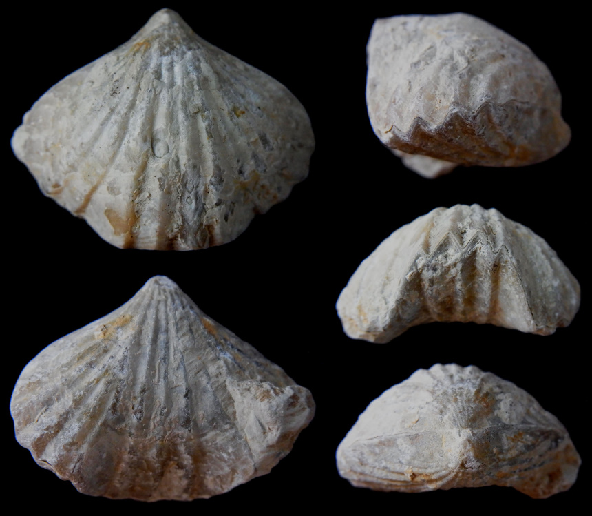 Lacunosella multiplicata (ZIETEN 1832)