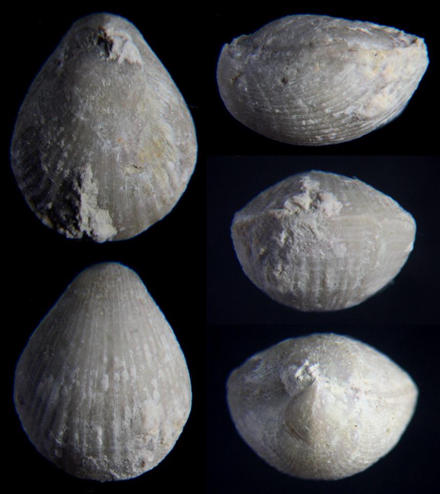 Monticlarella striocincta (QUENSTEDT 1858)