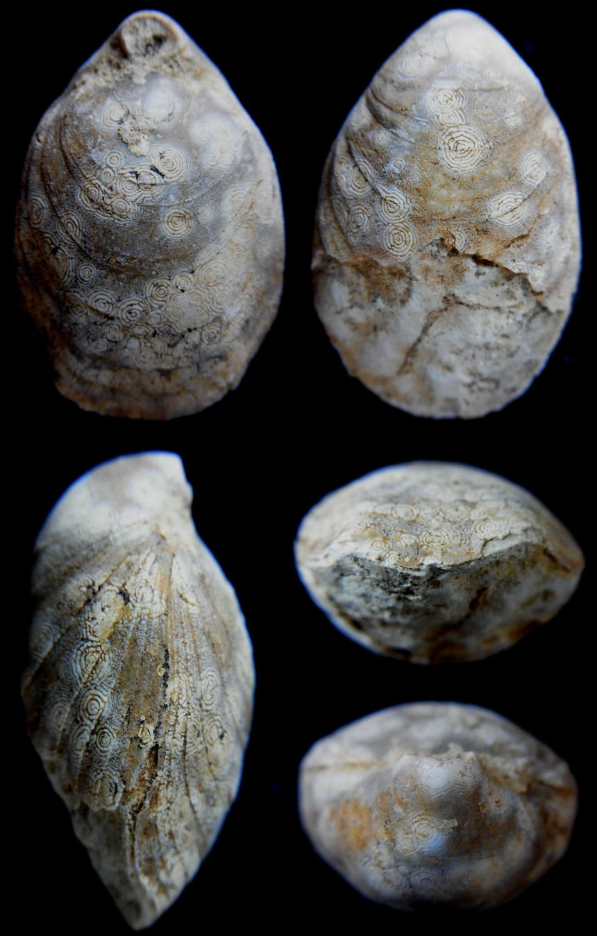Placothyris rollieri (HAAS 1893)