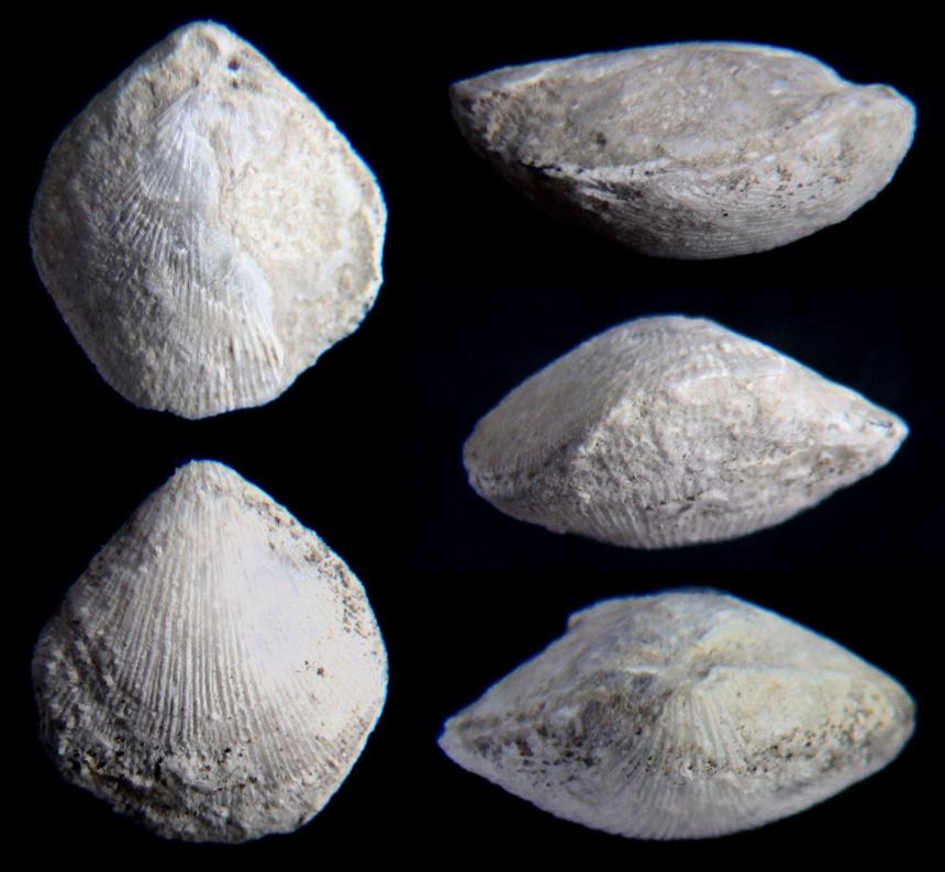 Terebratulina substriata (SCHLOTHEIM 1820)