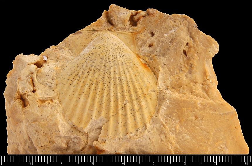 Chlamys textoria (Schlotheim,1820)