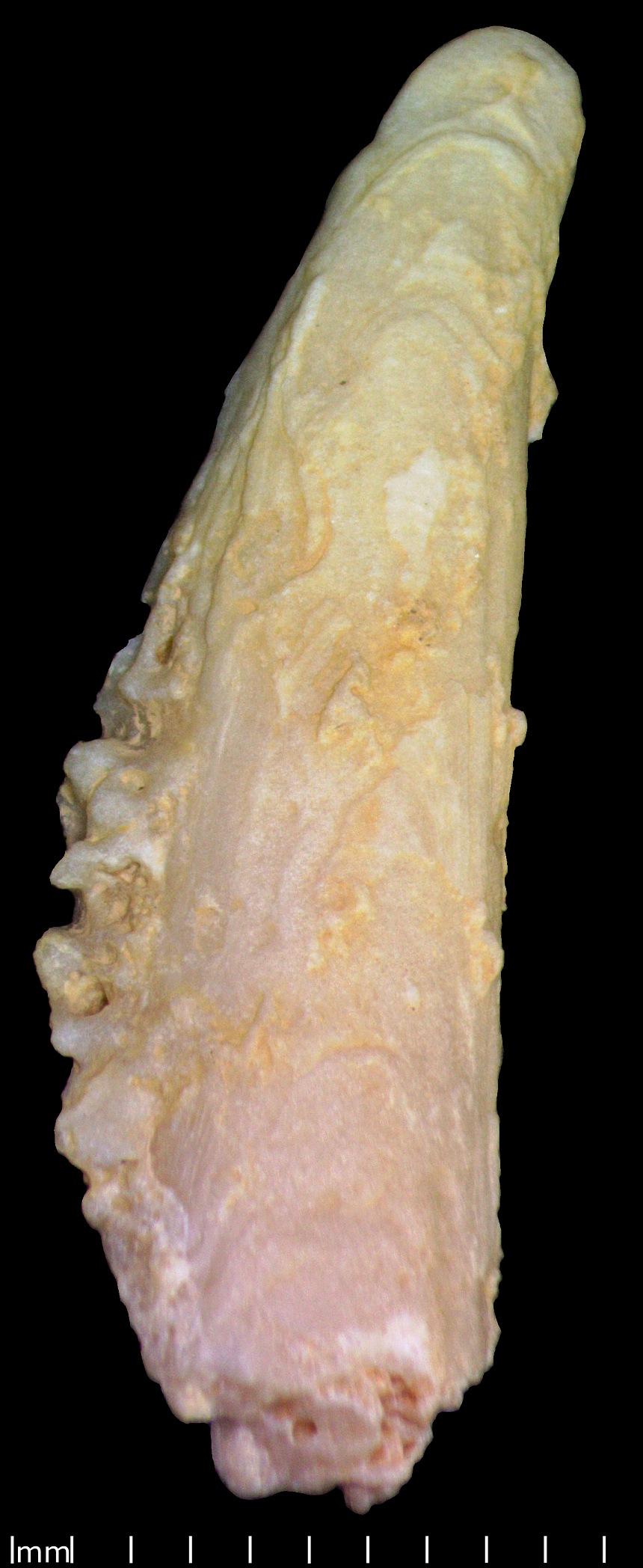 Gervillia (Defrance,1820) sp.