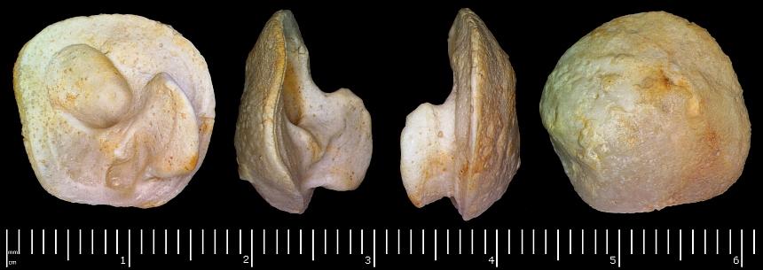 Hypelasma (Paquier,1897) sp.