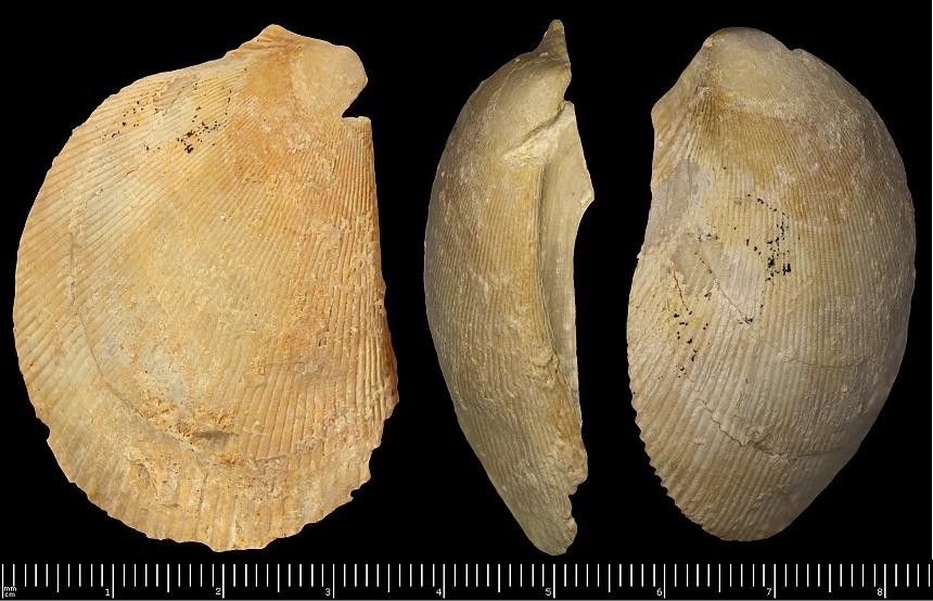 Plagiostoma (Sowerby,1814) sp.