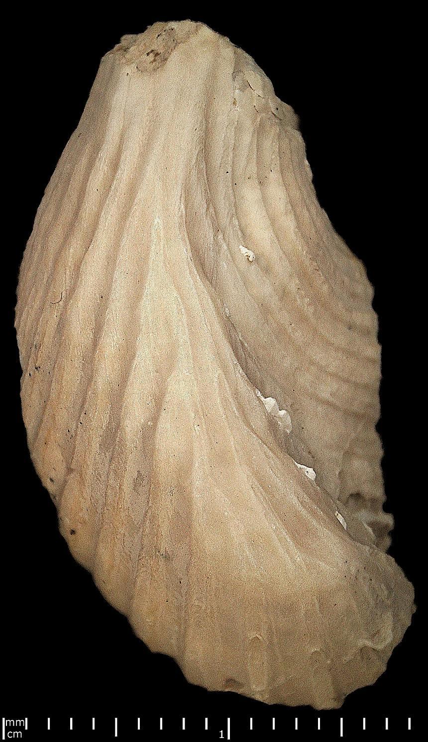 Trichites rugatus (Boehm)