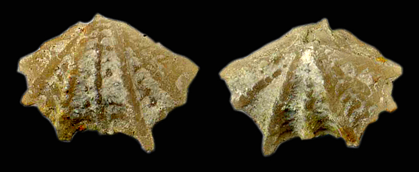 Dictyothyropsis pectunculus